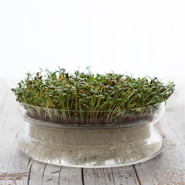 germogliera-vetro-crescione